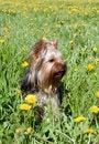 Free Yorkshire Terrier Stock Photos - 9890783