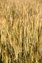 Free Golden Wheat Field Royalty Free Stock Photography - 9892267