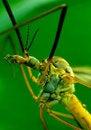 Free Cranefly Royalty Free Stock Photos - 9896528