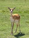 Free Gazelle Royalty Free Stock Photos - 9898918