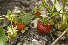 Free Strawberry On A Branch Stock Image - 9890051