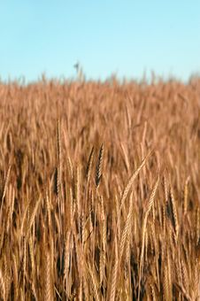 Free Golden Wheat Field Stock Photos - 9890323