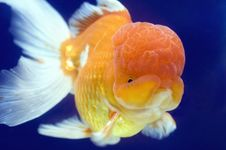 Free Lion Head Oranda Goldfish Royalty Free Stock Images - 9890849