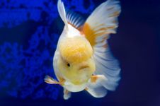 Free Lion Head Oranda Goldfish Stock Photo - 9890860