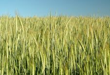 Free Golden Wheat Field Royalty Free Stock Images - 9892259