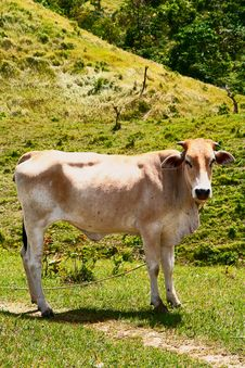 Free Mountain Mama Cow Royalty Free Stock Photo - 9893135