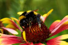 Free Big Bumblebee On Red Yellow Flower Royalty Free Stock Photography - 9893907