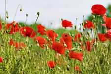Free Red Poppy Field With Flying Bumblebee Stock Photo - 9893920