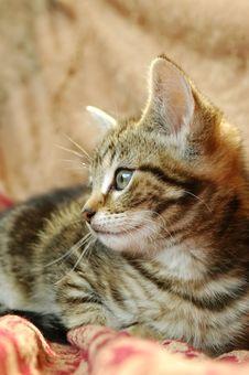 Free Tabby Kitten Stock Photos - 9893993