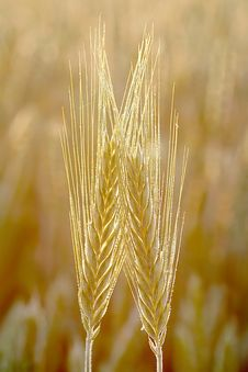Free Wheat Ears At Sunrise In Spring Royalty Free Stock Photos - 9894108