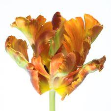 Free Orange Tulip On A White Background Royalty Free Stock Photos - 9894218