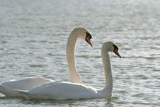Lovely Swans At Sunset In Winter Stock Photos