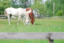 Free Horses In A Green Pasture Stock Photo - 9894720