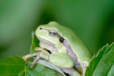 Free Pair Of A Frog On A Leaf In Spring Stock Photo - 9894930