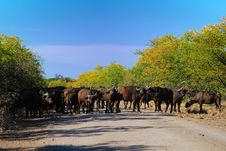 Free Herd Of African Buffalos (Syncerus Caffer) Royalty Free Stock Image - 9895346
