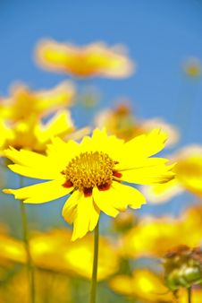Free Daisy In Sunshine Royalty Free Stock Photography - 9895607