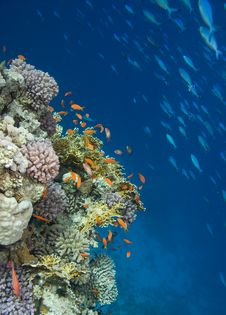 Free Coral Colony Royalty Free Stock Image - 9895906