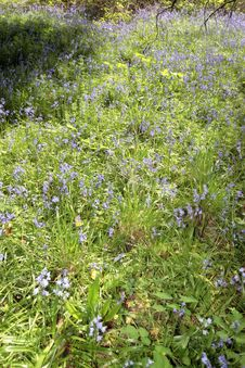 Free Wild Bluebell Path Royalty Free Stock Photo - 9895935