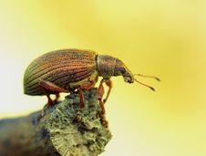 Free Golden Bug Royalty Free Stock Photos - 9896518