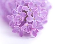 Free Fragrant Lilac Blossoms Royalty Free Stock Photography - 9896927