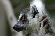 Free Lemur Stock Photography - 9897272
