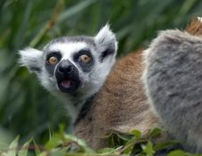 Free Lemur Stock Photography - 9897282