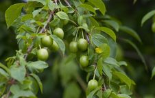 Free Green Plum Royalty Free Stock Photography - 9897847