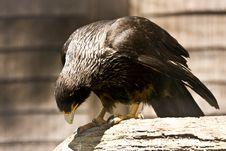 Free Black Eagle Stock Image - 9897851