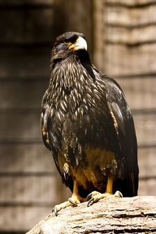 Free Black Eagle Stock Images - 9897874
