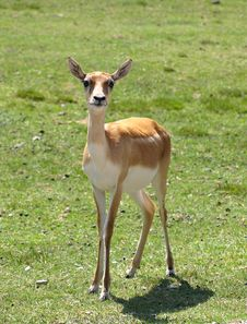 Free Gazelle Royalty Free Stock Photos - 9898918