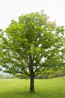 Free Large Tree With Flare Stock Photography - 9898992