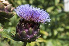 Free Thistle, Plant, Artichoke Thistle, Cynara Stock Photos - 98980363