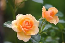 Free Flower, Rose Family, Rose, Flowering Plant Royalty Free Stock Photos - 98999978