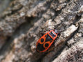 Free Milkweed Bug On A Tree Bark 03 Stock Photography - 991352