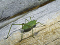 Free Green Grasshopper On An Old Tree. Royalty Free Stock Photography - 991377