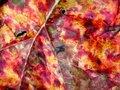 Free Rhubarb Leaf Stock Photography - 993162
