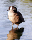 Free Canadian Goose Profile Sentry Stock Image - 994201