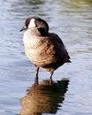 Free Canadian Goose Profile Sentry Stock Image - 994201