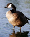 Free Canadian Goose Profile Sentry Stock Images - 994204