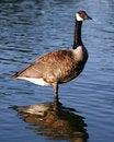 Free Canadian Goose Profile Sentry Stock Photo - 994210