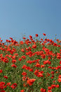 Free Poppies Stock Photography - 996142