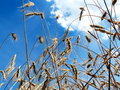 Free Wheat Stock Photo - 997780