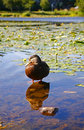 Free Lone Duck Stock Photography - 997992