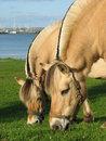 Free Eating Horses Royalty Free Stock Photography - 999967