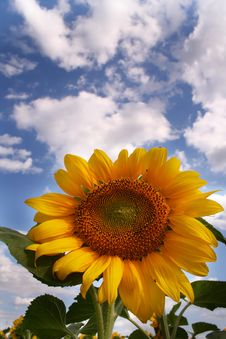 Free Nice Sunflower Royalty Free Stock Photo - 990335