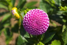 Free Pink Dahlia And Bud Royalty Free Stock Photos - 990448