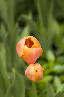 Free Tulips Stock Images - 990464
