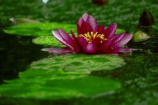 Free Water Lily Royalty Free Stock Image - 990586