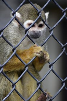 Free Caged Monkey Royalty Free Stock Photos - 990588
