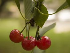 Free Cherries Hanging From A Tree Stock Image - 990971